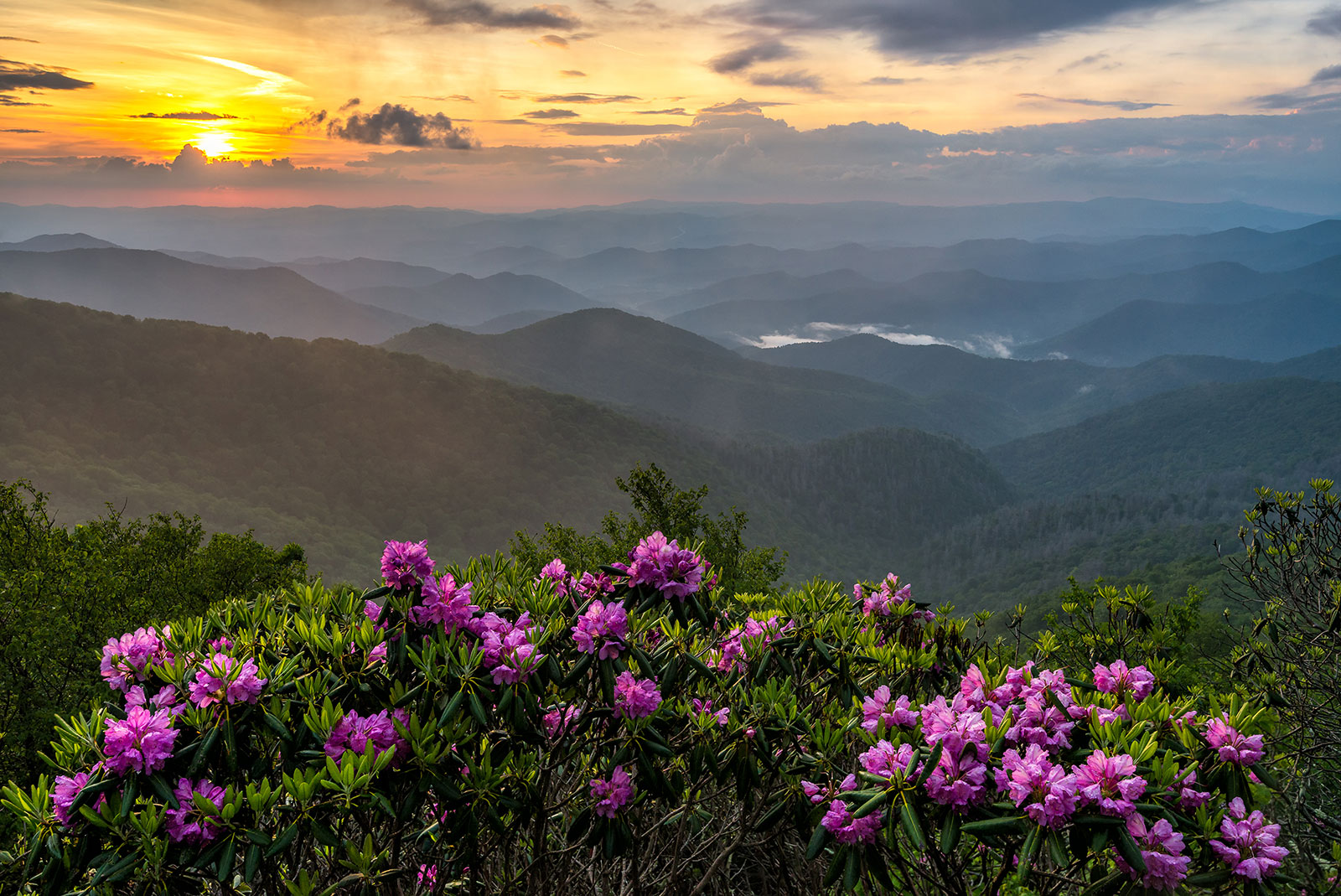 Beautiful rhododendrons and the Smoky Mountains.